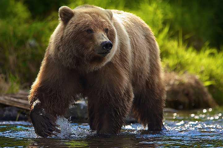 Охотничий тур на бурого медведя