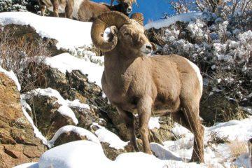 Охотничий тур на Снежного барана